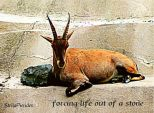 Zoo,goat,poem,haiga,Augsburg,