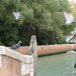 Pigeons on the bridge