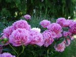 Peony blooms,flowers,