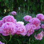 Peony blooms,flowers,