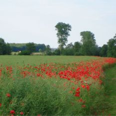 poppies,photo,