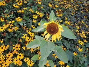 Inequality, sunflower,daisies,
