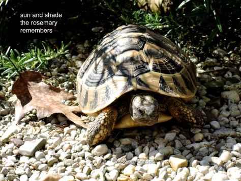 tortoise,haiga,haiku,rosemary,