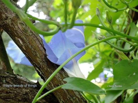 fragile,morning glory,