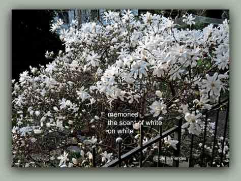 magnolia,haiga,