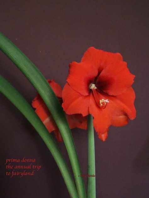 amaryllis,flower,haiga