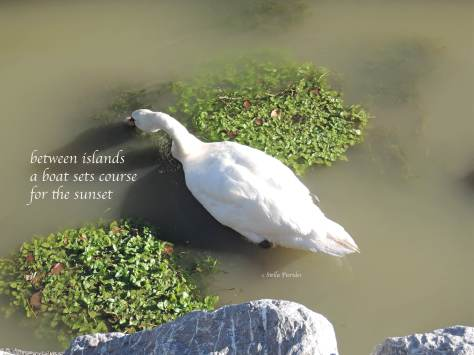 haiga,haiku,ducks,