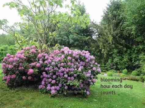 rhododendron,haiga,garden,