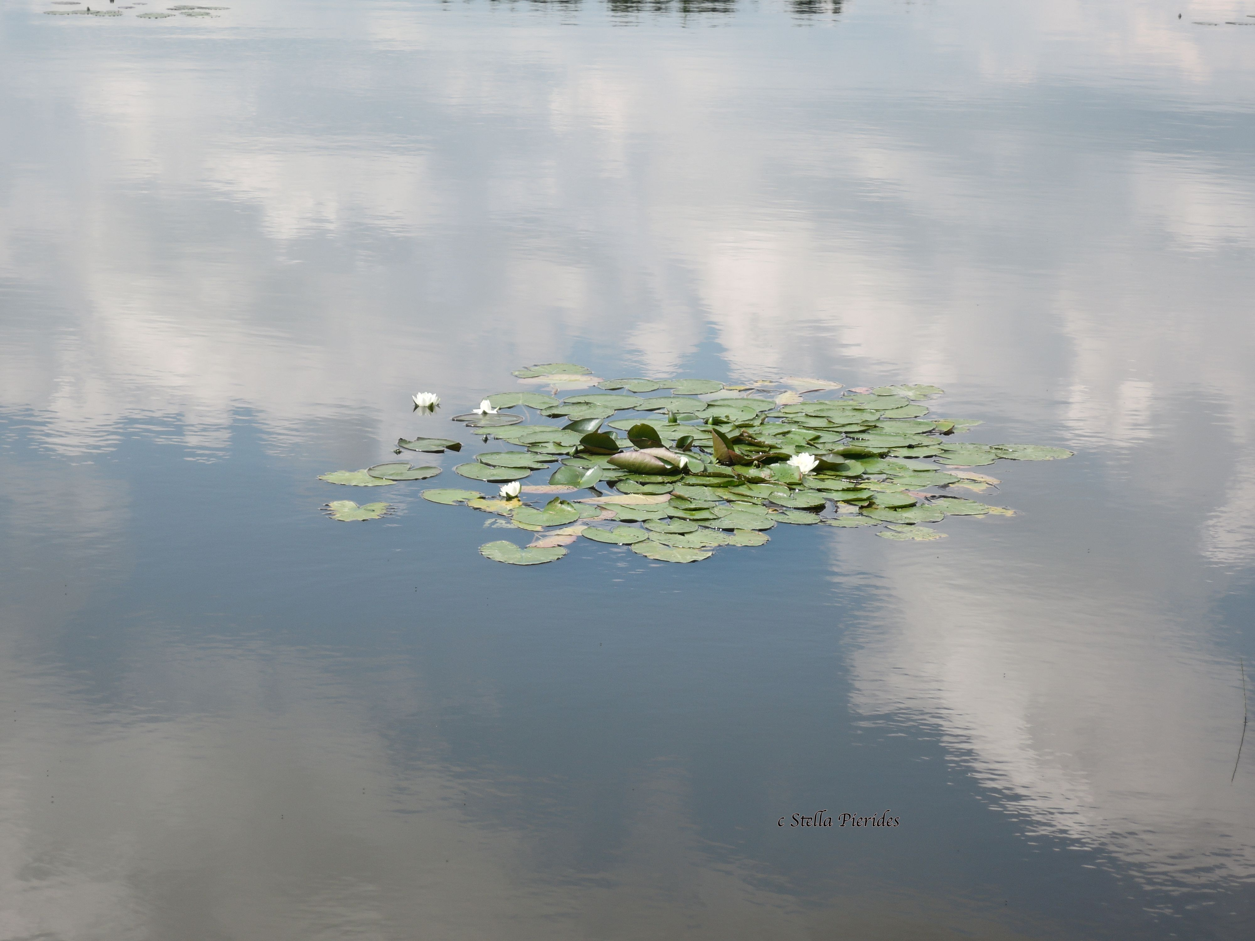 water lilies,lake,