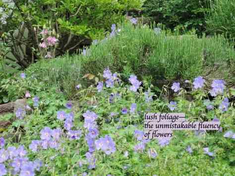 garden flowers,cranesbill,