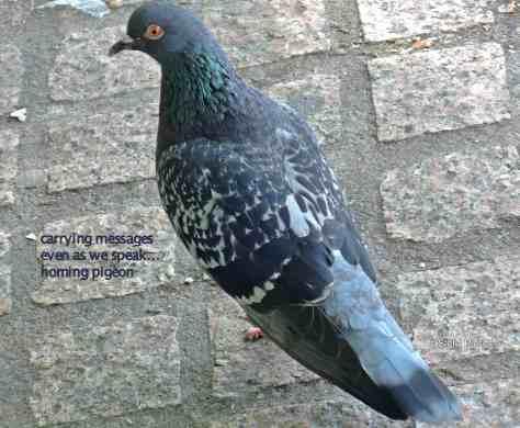 homing pigeon,haiga,