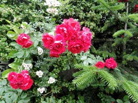 roses,