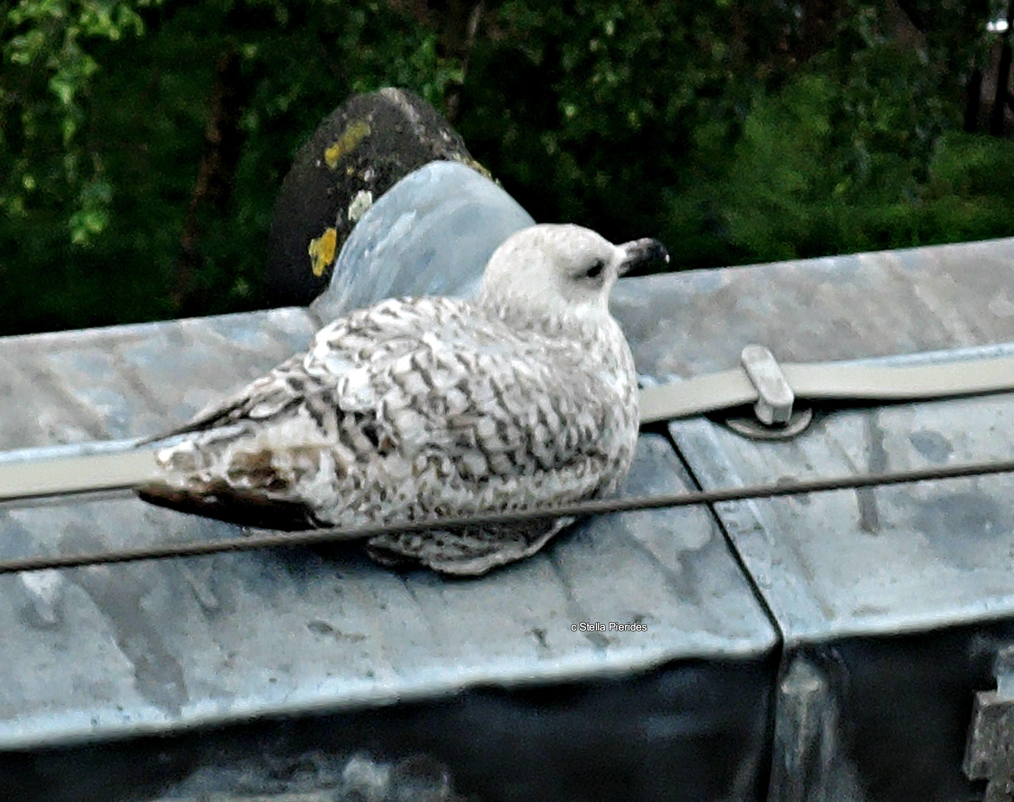 seagull,photo,